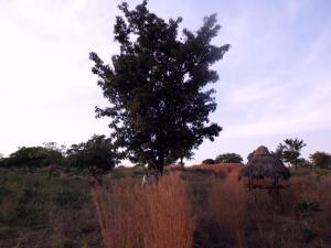 L'arbre à Karité dans la Savane Africaine, en République de Guinée